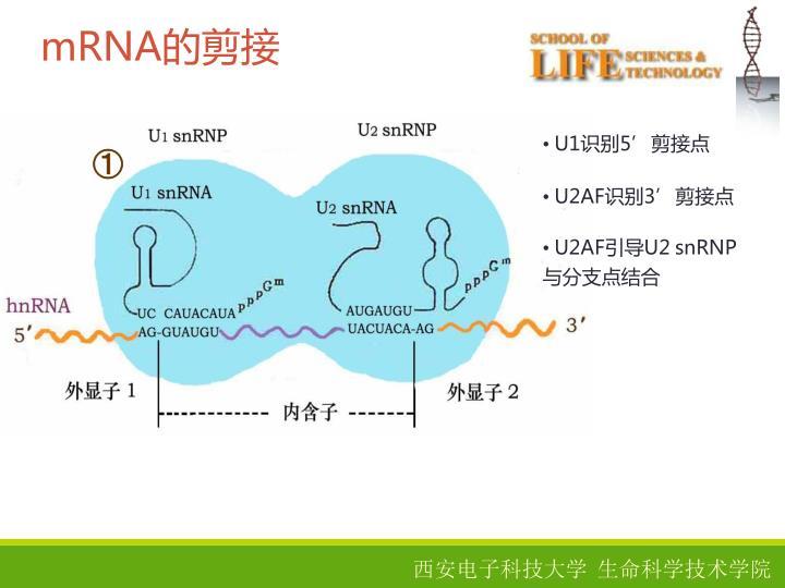 mRNA的剪接