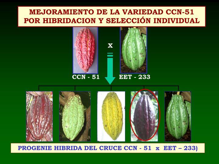 MEJORAMIENTO DE LA VARIEDAD CCN-51 POR HIBRIDACION Y SELECCIÓN INDIVIDUAL