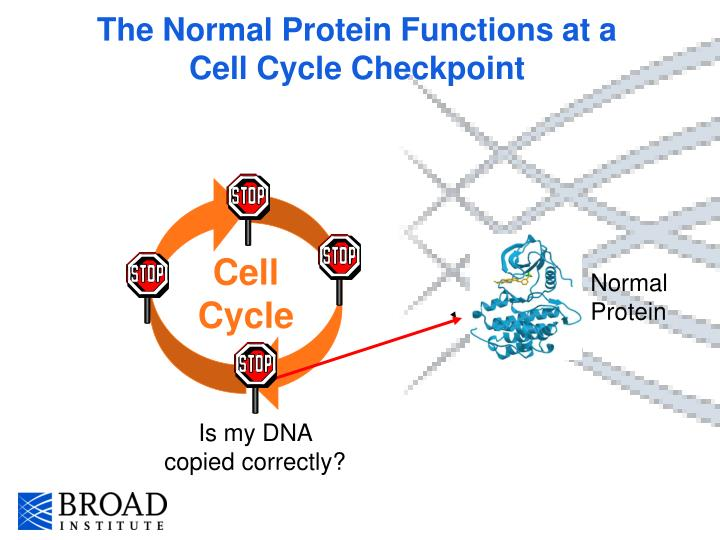 The Normal Protein Functions at a Cell Cycle Checkpoint