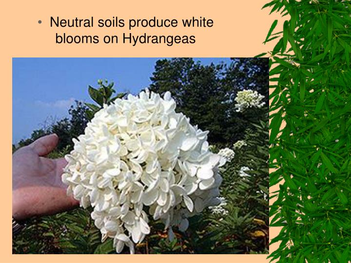 Neutral soils produce white blooms on Hydrangeas