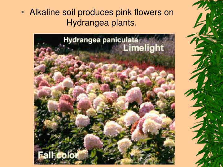Alkaline soil produces pink flowers on Hydrangea plants.