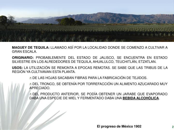 MAGUEY DE TEQUILA: