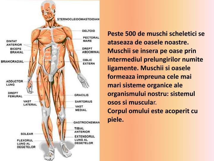Peste 500 de muschi scheletici se ataseaza de oasele noastre. Muschii se insera pe oase prin intermediul prelungirilor numite ligamente. Muschii si oasele formeaza impreuna cele mai mari sisteme organice ale organismului nostru: sistemul osos si muscula