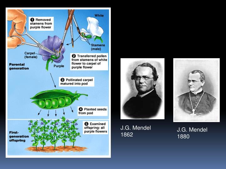 J.G. Mendel