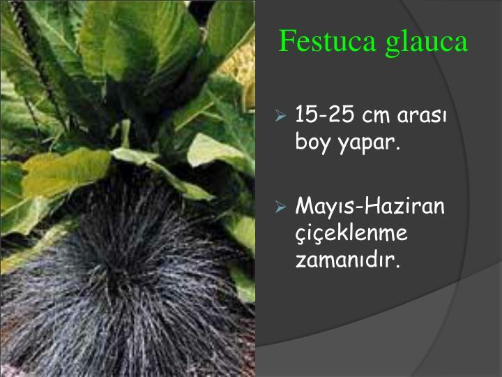 Festuca glauca