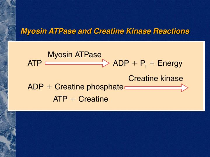Myosin ATPase and Creatine Kinase Reactions