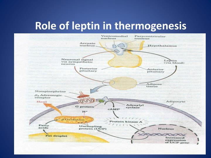 Role of leptin in thermogenesis