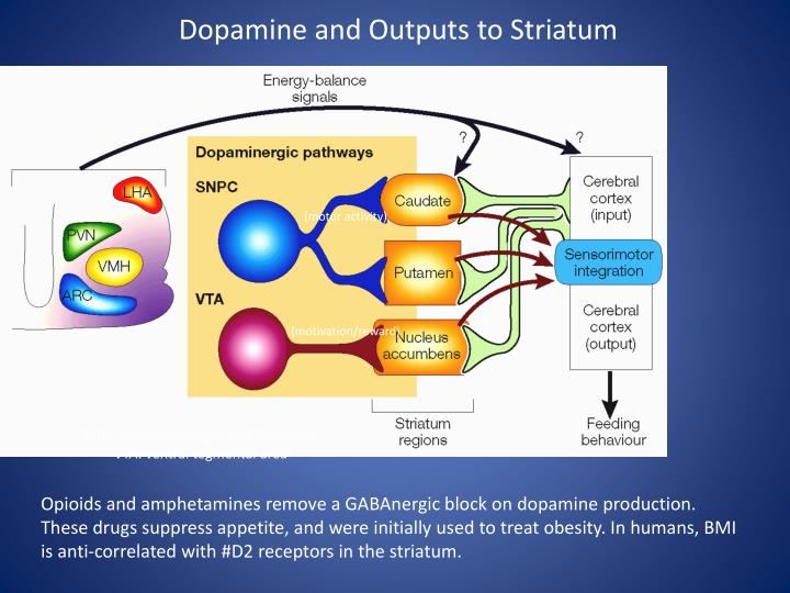 Dopamine and Outputs to Striatum