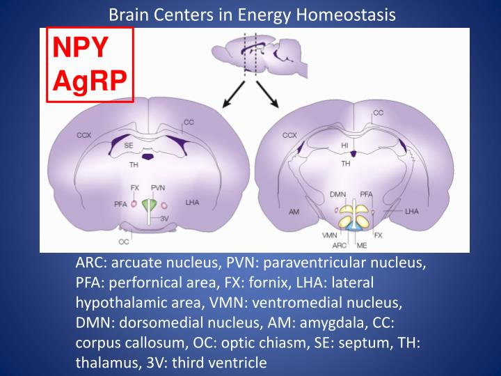 Brain Centers in Energy Homeostasis