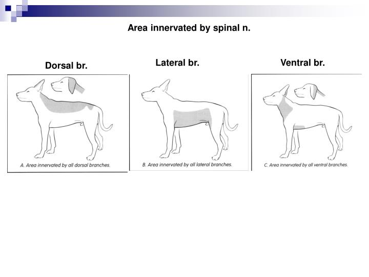 Area innervated by spinal n.