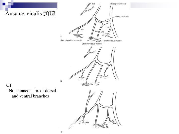 Ansa cervicalis