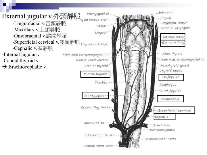 External jugular v.