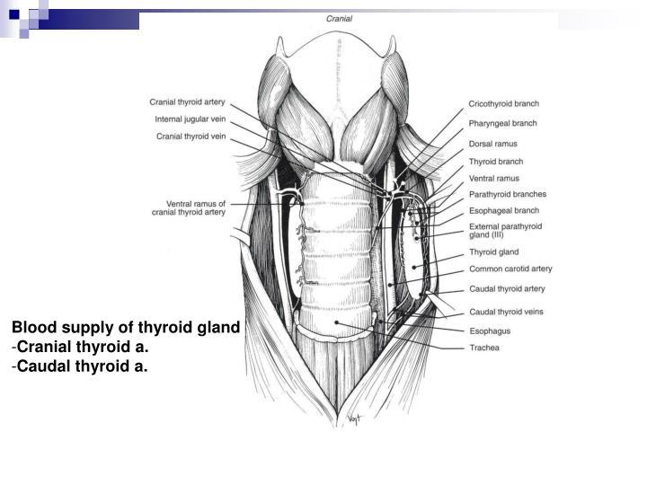 Blood supply of thyroid gland