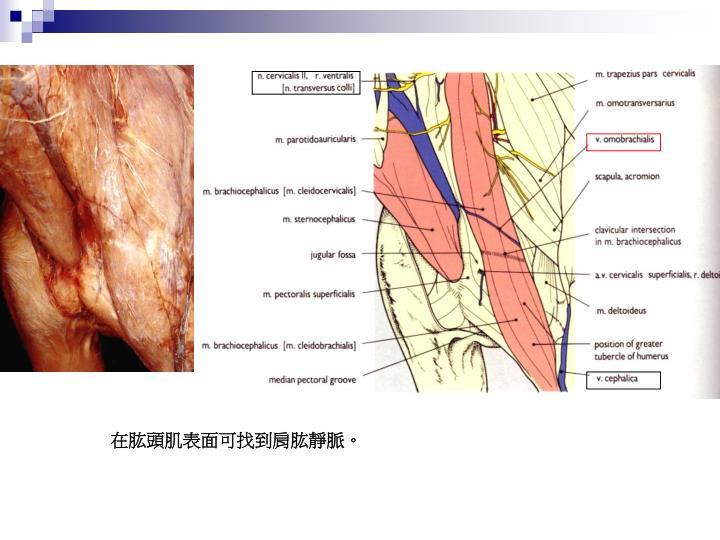 在肱頭肌表面可找到肩肱靜脈。