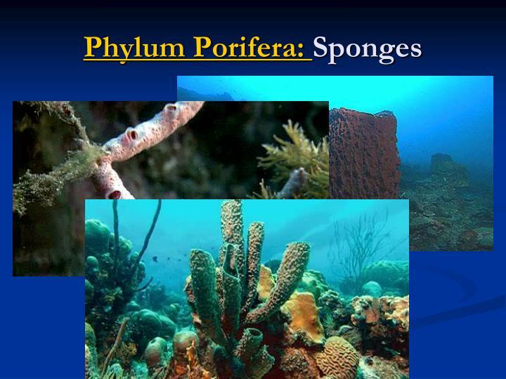 Phylum Porifera: