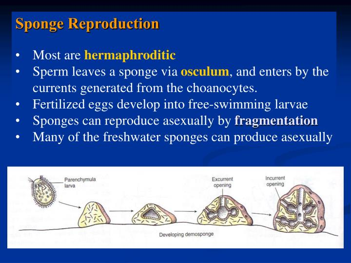 Sponge Reproduction