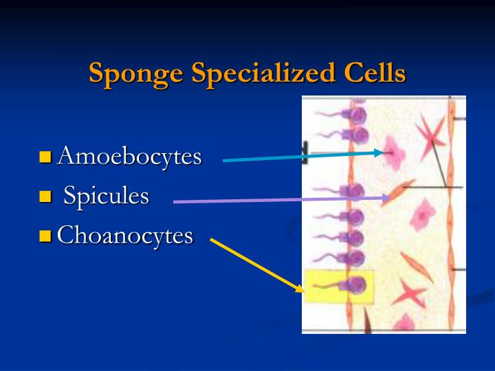 Sponge Specialized Cells