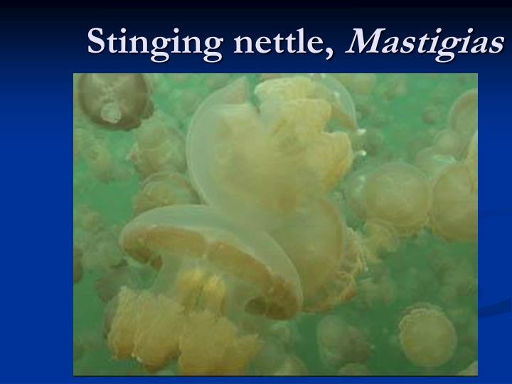 Stinging nettle,