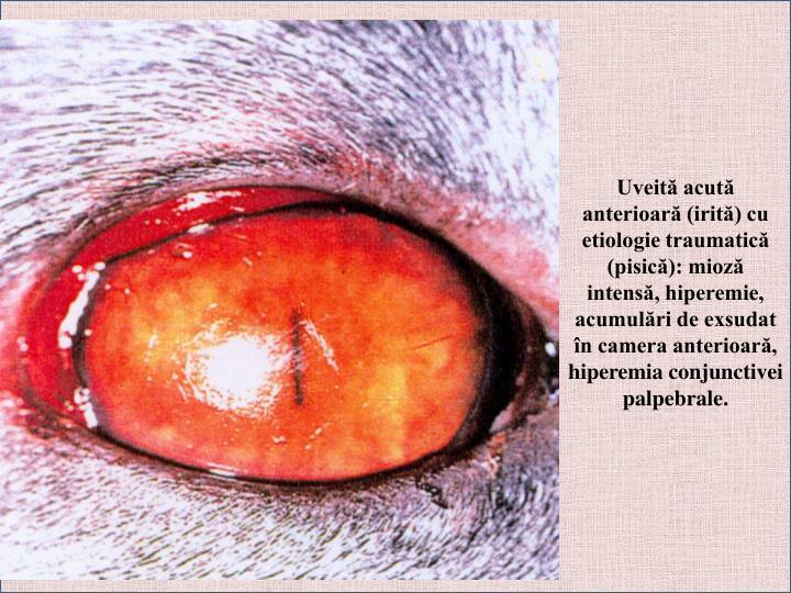Uveită acută anterioară (irită) cu etiologie traumatică (pisică): mioză intensă, hiperemie, acumulări de exsudat în camera anterioară, hiperemia conjunctivei palpebrale.