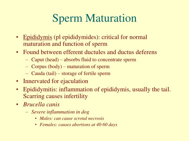 Site of sperm storage and maturation