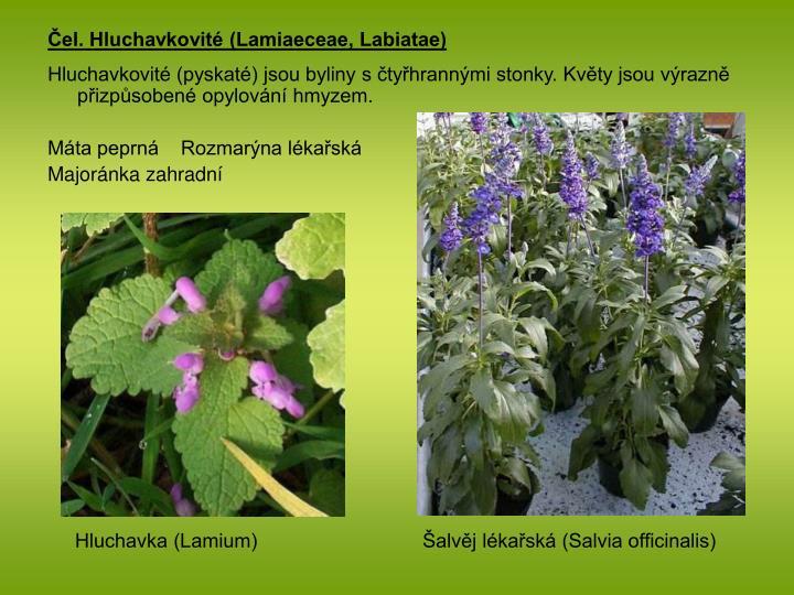 Čel. Hluchavkovité (Lamiaeceae, Labiatae)