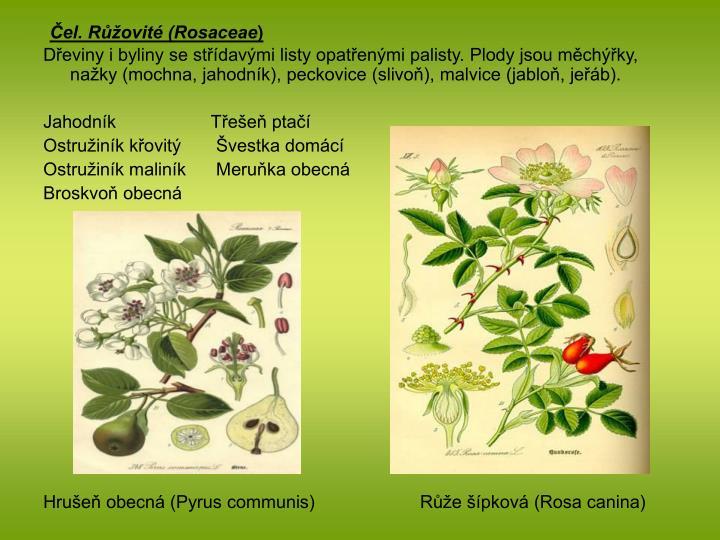 Čel. Růžovité (Rosaceae
