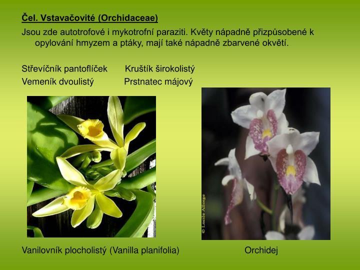 Čel. Vstavačovité (Orchidaceae)