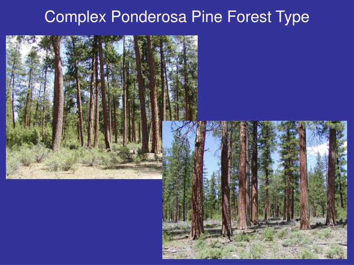 Complex Ponderosa Pine Forest Type