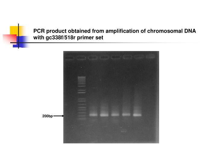 PCR product obtained from amplification of chromosomal DNA with gc338f/518r primer set