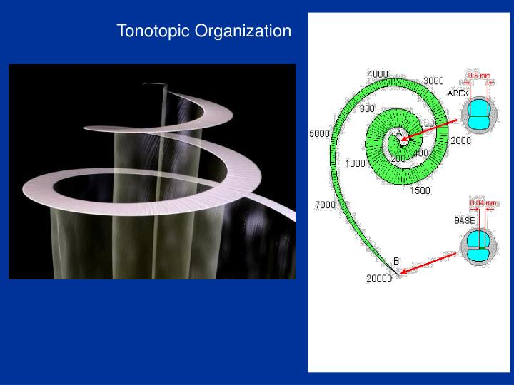 Tonotopic Organization