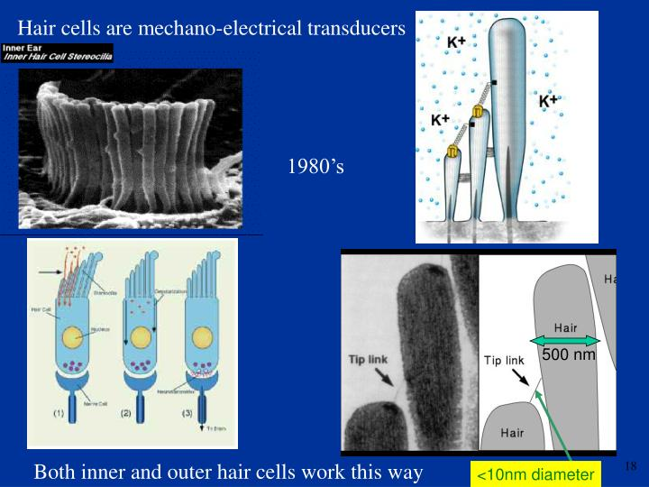 Hair cells are mechano-electrical transducers