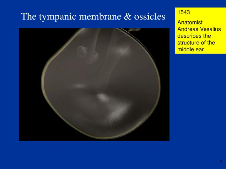The tympanic membrane & ossicles