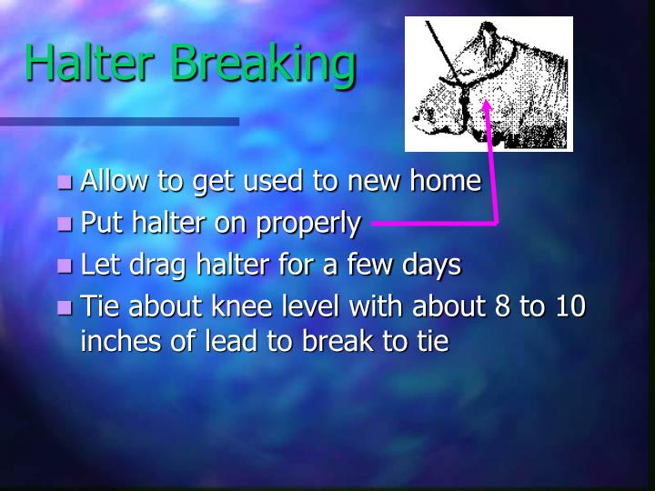 Halter Breaking