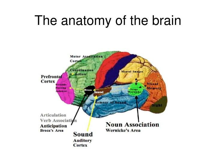 The anatomy of the brain