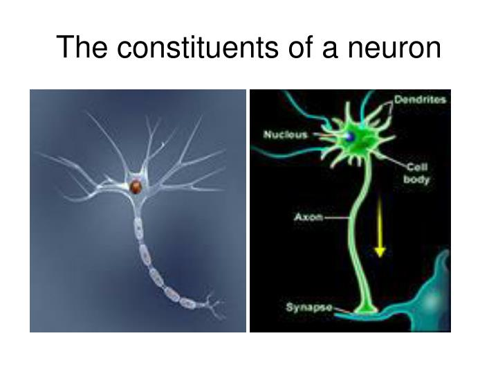 The constituents of a neuron
