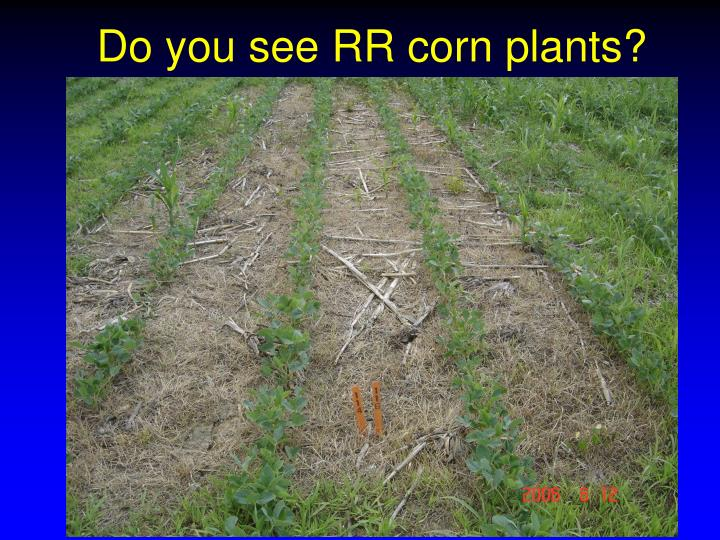 Do you see RR corn plants?