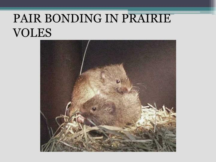 Pair bonding in prairie voles