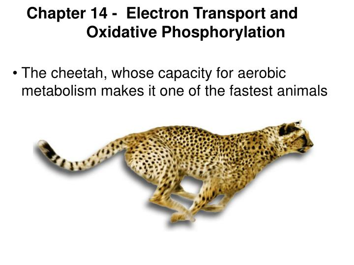 chapter 14 electron transport and oxidative phosphorylation