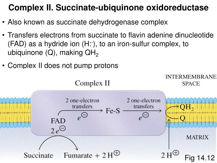 Complex II. Succinate-ubiquinone oxidoreductase