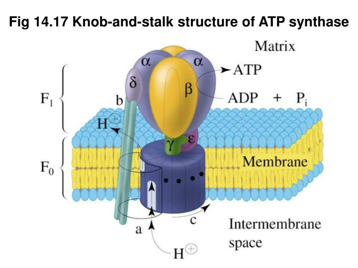 Fig 14.17 Knob-and-stalk structure of ATP synthase