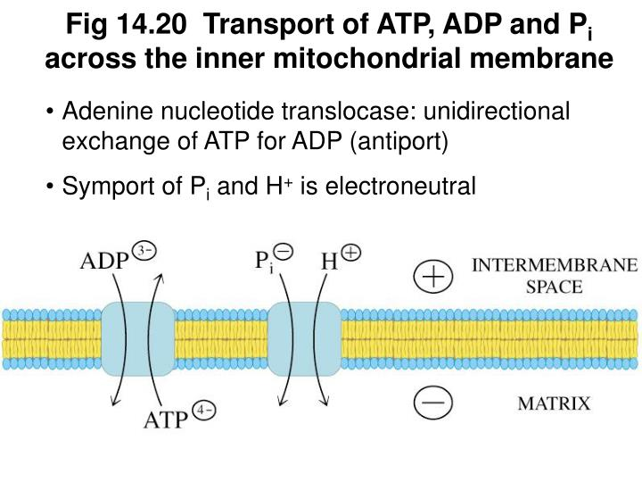 Fig 14.20  Transport of ATP, ADP and P