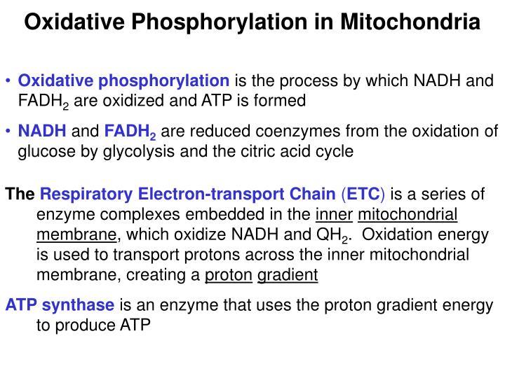 Oxidative Phosphorylation in Mitochondria