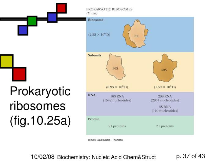 Prokaryotic ribosomes (fig.10.25a)