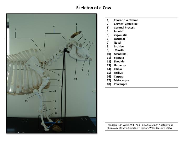 Skeleton of a Cow