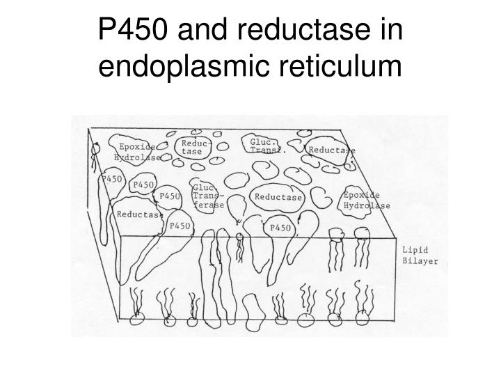 P450 and reductase in endoplasmic reticulum