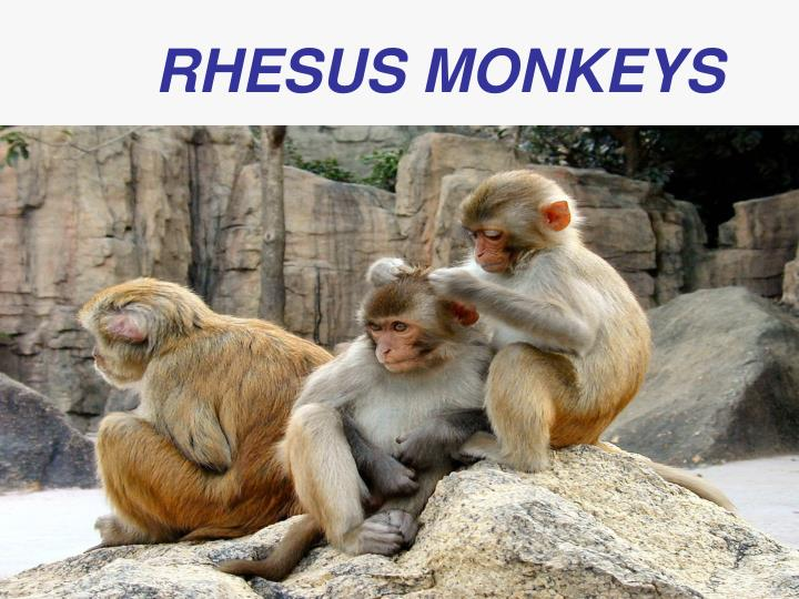 RHESUS MONKEYS
