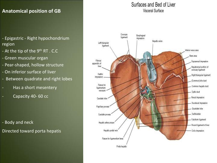 Anatomical position of GB