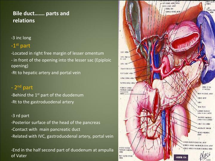 Bile duct……. parts and relations