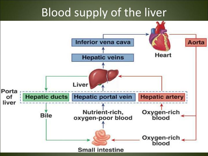 Blood supply of the liver