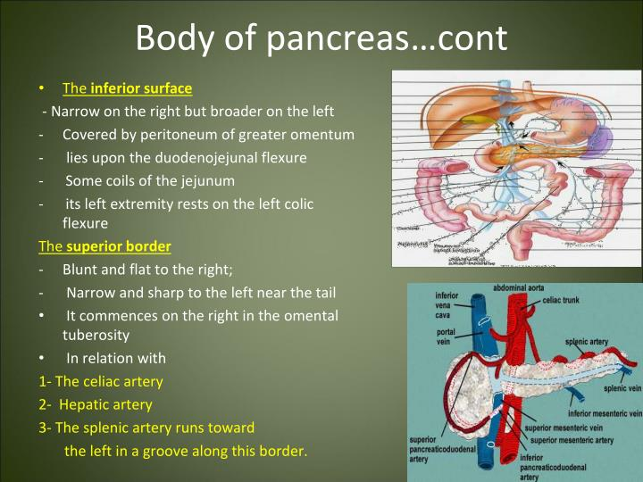 Body of pancreas…cont